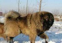 這一種狗,藏獒見了都怕,比藏獒還凶!