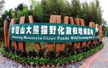 暢遊華鎣山大熊貓生態旅遊景區 觀賞國寶大熊貓