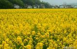 春天的鄉村,美景如詩如畫,花田農房、青山綠地,形成美麗畫卷