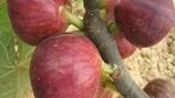 打工賺錢太困難,如果老家有閒田,這些果樹好好種,發家致富不難