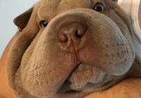 這種犬是中國本土犬種,對家人極其友善,外表憨厚老實卻是鬥狗