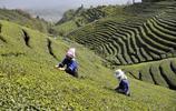 陽春三月採茶忙