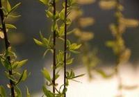 柳樹芽能吃嗎?