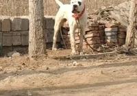 狗子忘了被栓繩,摔了個狗啃泥,網友:前空翻最高水平,無狗取代