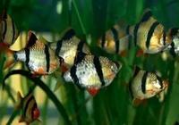 虎皮魚的飼養難度和迷你鸚鵡差不多,為什麼有的魚友總養不好?