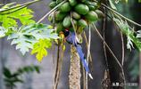 紅嘴藍鵲偷吃木瓜