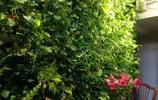 綠蘿用3樣寶貝,長得像瀑布無處安放,只能讓它爬牆去了!
