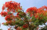 鳳凰木花開季節