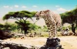 動物圖集:貓科動物中體型最小的豹子,速度非常敏捷
