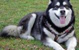 狗狗也愛吃零食-阿拉斯加雪橇犬