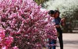 圖蟲攝影:最美四月榆葉梅