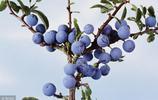 18種野果你都吃過嗎?農村山裡的孩子記得叫啥名嗎?大家來科普!