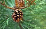 松樹的果實松子圖片,松鼠們的最愛,大松子!