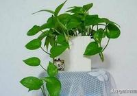 家裡的綠蘿盆栽蔫了?教你一招,救回來!