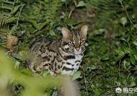 我國野生的豹貓還多嗎?為什麼?