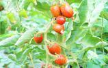 農民種植巧克力番茄,500棵收入15萬元,你相信嗎?