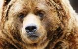 高清動物美圖:棕熊