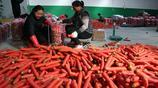"""紅蘿蔔""""女當家""""田勤麗讓上百名群眾和貧困戶不出村脫貧掙了錢"""