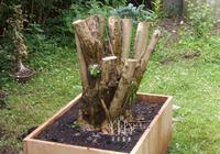 愛木盆景I 做柴火的女貞樹樁變形記,高手都是這樣玩盆景的