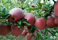 全國蘋果產區這麼多,哪裡的產區比較好?好在哪裡?