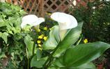 馬蹄蓮,天南星科,馬蹄蓮屬多年生粗壯草本,在歐美國家是新娘捧花的常用花,也是埃塞俄比亞的國花