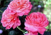 掌握好月季盆栽各階段的養護管理,栽好月季花小事一樁。