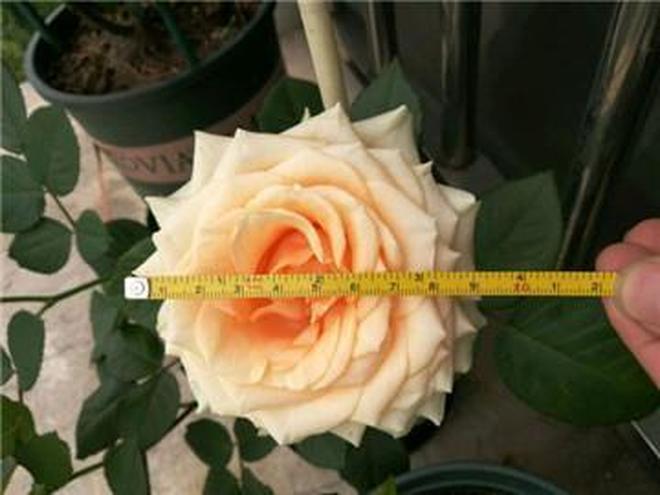 老花匠3個小招,月季花開得多,花朵比別人大10倍!