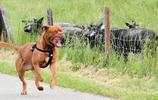 動物圖集:工作犬波爾多犬
