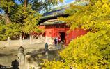 北京最古老的銀杏樹,大覺寺千年銀杏王,現在正是最佳觀賞期