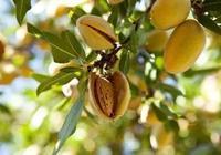 農村一種樹木,其果實是重要的中藥材,可以祛痰止咳