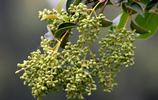 女貞樹的種子