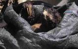 野生樹懶快俠從樹上被強抓下來,親眼看著自己的家被砍掉