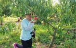 湖北麻城黃土崗楊林紅桃基地,鮮紅大桃成熟了,直播採摘