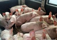 豬養的好不如賣的好!育肥豬出欄有講究