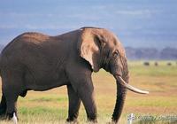 超萌的大象,你不領走一頭放家裡嗎?