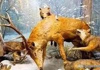 黑龍江黑河知青:與狼共舞