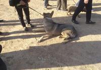 狗市:昆明犬很多人都不認識,還有很多人將它認成狼青犬!