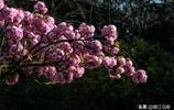 江蘇鎮江:燦若雲霞的寶塔山櫻花