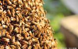 """他養的蜜蜂採出了""""菜花蜜"""",一年四季跟著蔬菜大棚走"""