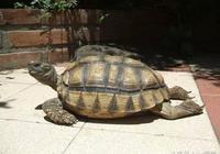 附錄二·餅乾龜被踩扁的輻射陸龜······