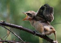 寵物專題|伯勞的雛鳥飼養以及成鳥的上手訓練