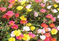 """盆栽太陽花,""""關鍵點""""掌控好,根系粗壯蹭蹭長,開滿""""五彩花"""""""