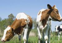 母牛的飼養應該去怎樣管理?母牛的妊娠期應該怎樣去管理?