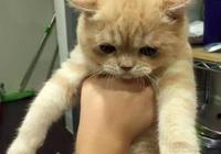 撿的小橘貓被帶去絕育,卻直接哭了,委屈的樣子簡直萌翻了