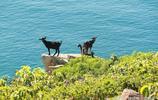 澳洲佩洛勒斯島山羊氾濫,派出野狗進行清除!