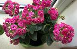 為什麼別人家的長壽花開花都能爆盆,原來這裡面是有養殖技巧的