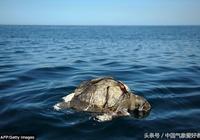 人類惹的禍!上百隻海龜屍體現身太平洋,生態災難已來臨
