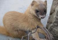 故事:10年前救下黃鼠狼,今日遭難黃鼠狼前來報恩