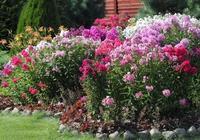 在院子種上一片福祿考,每一棵枝條頂部開出極其旺盛的花