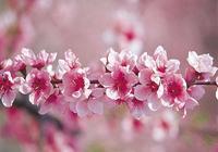 老花匠教你養殖桃花,記住這幾點,枝繁葉茂開花多